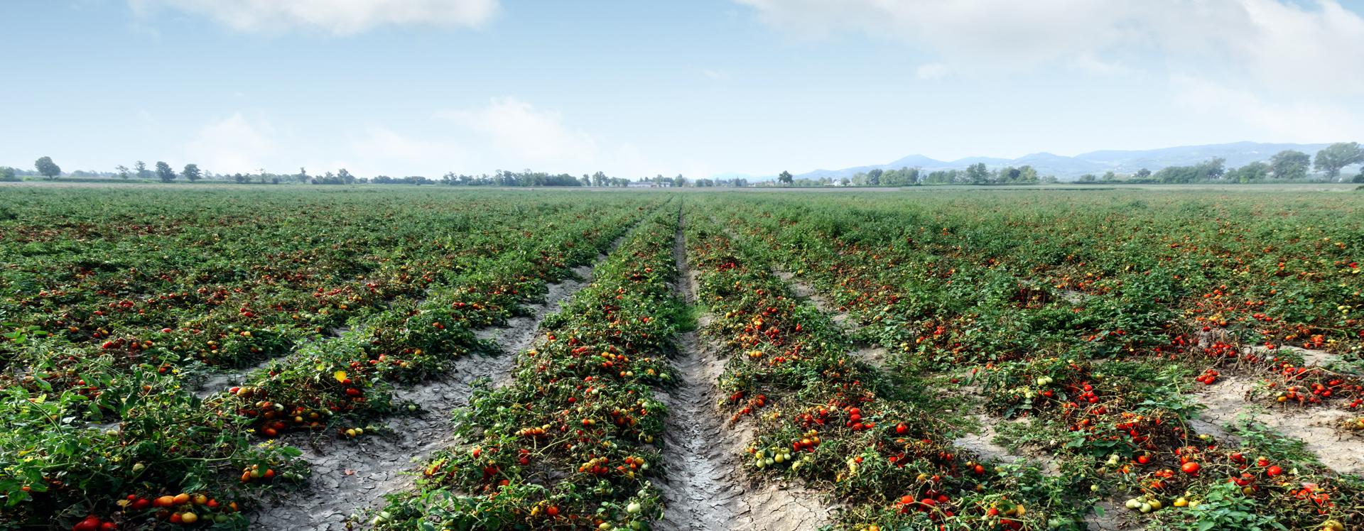 VIUSID AGRO tomates